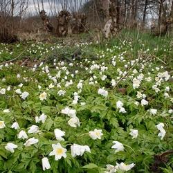 Voorjaar in het essenhakhout van Kolland