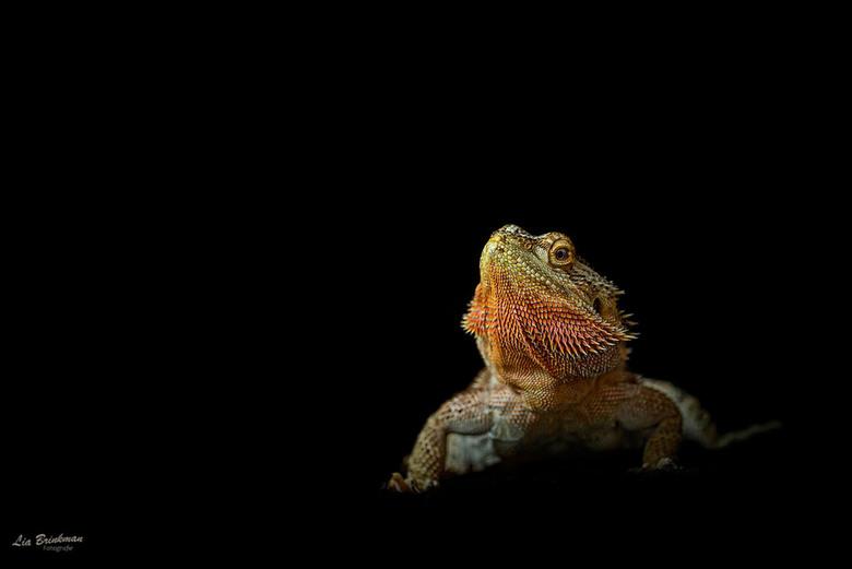 Baardagaam - Baardagaam, <br /> De baardagaam leeft in delen van Australië en komt voor in woestijnachtige gebieden.<br /> Deze baardagaam heb ik ge