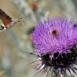Kolibrivlinder.