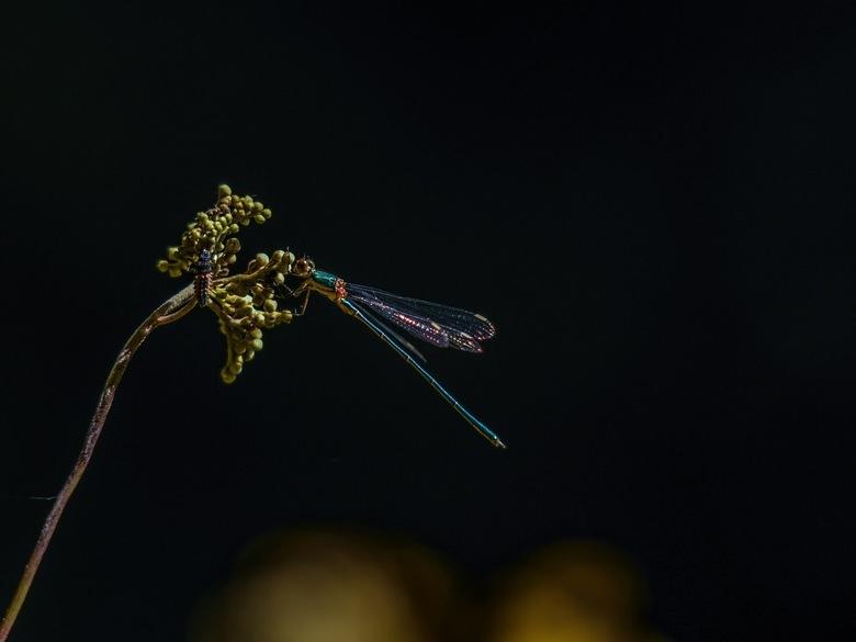 Houtpantserjuffer en  lieveheersbeestje larve