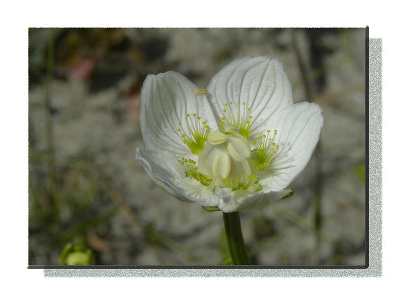 Parnassia - De plant komt voor over heel het noordelijk halfrond, buiten de tropen en subtropen. In Nederland was zij vroeger breed verspreid op de ve