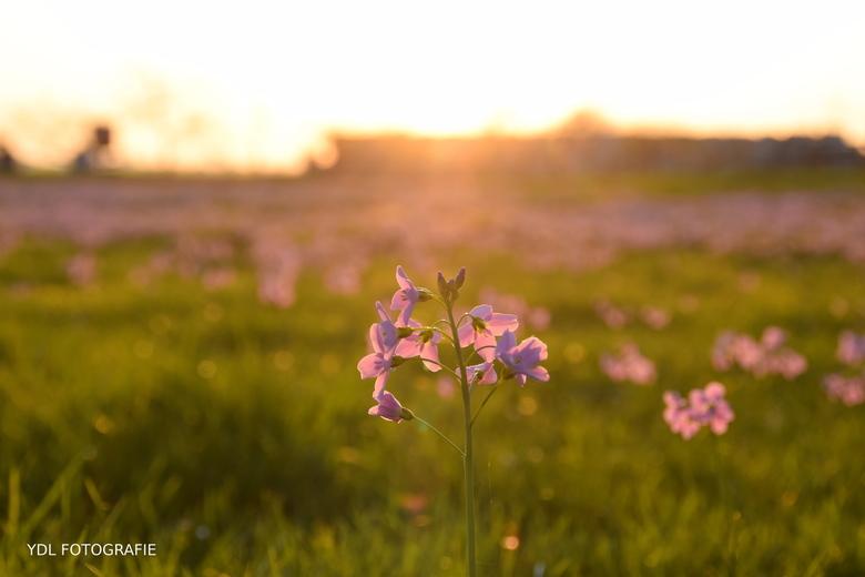 Pinksterbloemen -