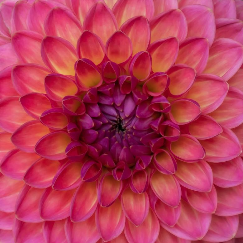 Perfect - Mijn vrouw koop iedere week bloemen en soms zitten daar prachte exemplaren tussen zo ook deze Dahlia. Hoe kan het zo groeien betoverend mooi