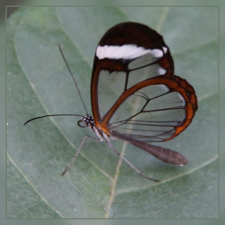 vlindertje - Ook dit doorschijnend exemplaar is te vinden in Artis....