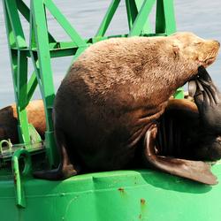 Steller zeeleeuw, Valdez Arm 06 26 03.09.jpg