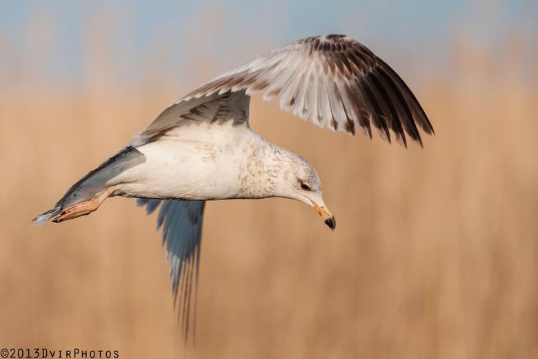 The Surveyer  - Herring gull in flight