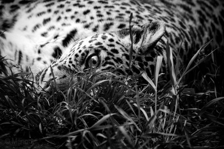 Luipaard (zwart wit) -