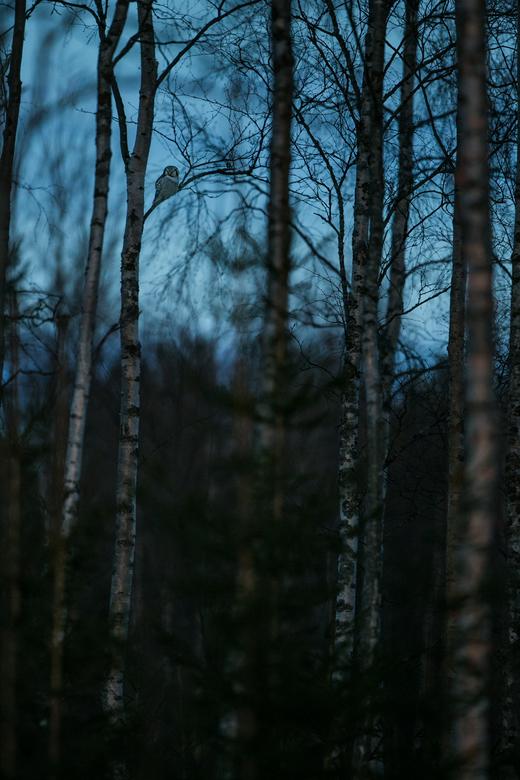 Sperweruil - Een Sperweruil in laatste licht dat er nog was. Zitten in zijn omgeving.