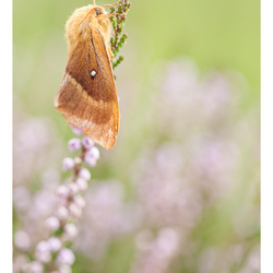 The big fat moth | Rozendaalse veld | Veluwe