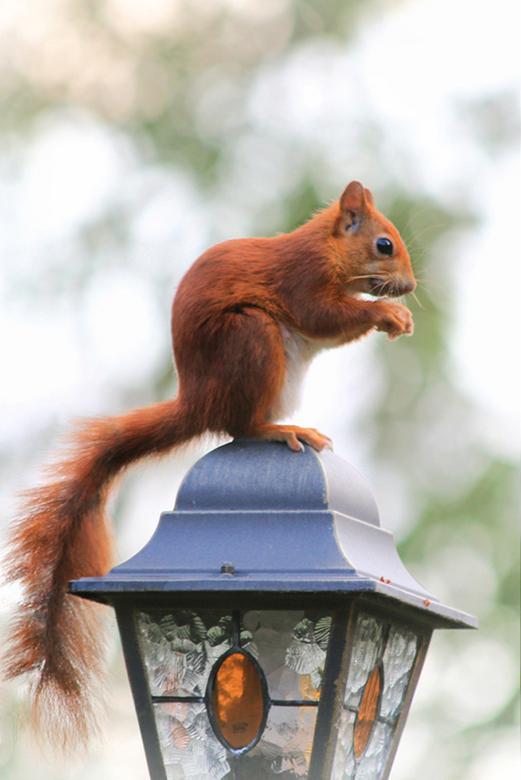 Jonge eekhoorn - Op een lamp