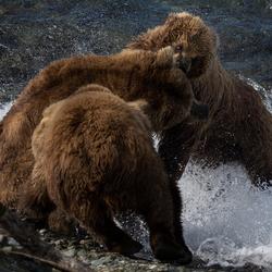 Vechtende beren, Alaska