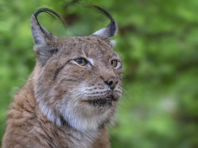 Kopportret van.. - een Lynx...<br /> was even een paar dagen uit de running!! Inhalen is geen doen dus ik begin weer vanaf dit punt!!<br />