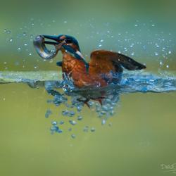 Ijsvogel vangst