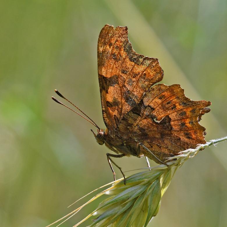 de duivel - In Frankrijk wordt de gehakkelde aurelia ,vertaald naar het Nederlands, robert -de-duivel genoemd. De wetenschappelijke soortnaam (de twee