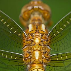 Rugschild van een libelle