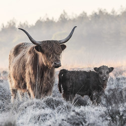 Highlander and Calf