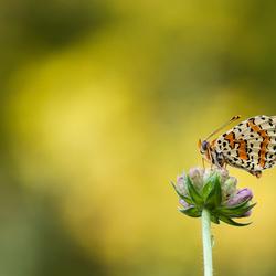 tweekleurigee  parelmoervlinder