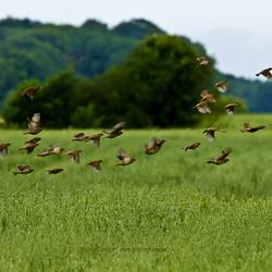 musjes in korenveld