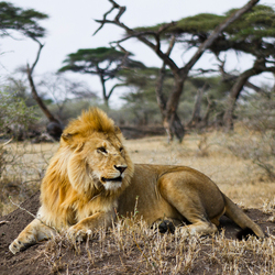 Koning van het dierenrijk.