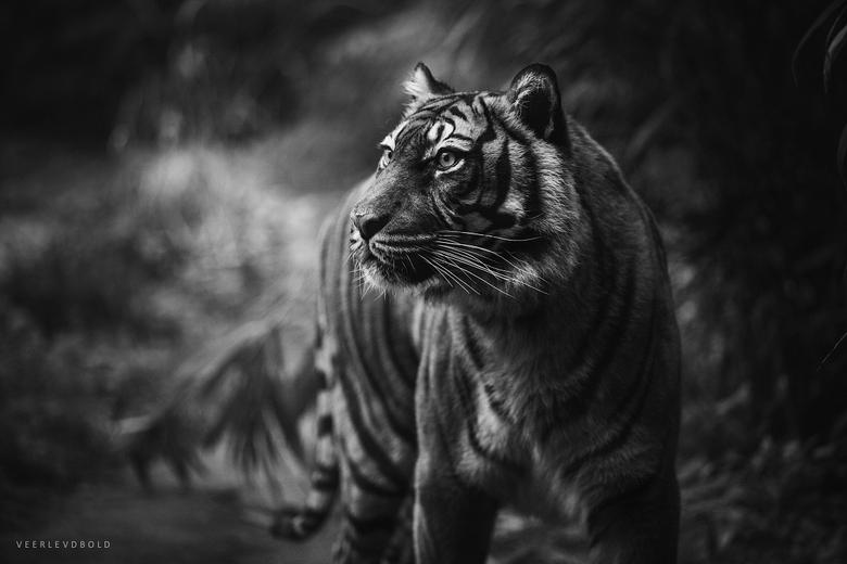 Tigerr - Vorig jaar gefotografeerd, deze vergeten te uploaden. Majestueuze tijger in zw.