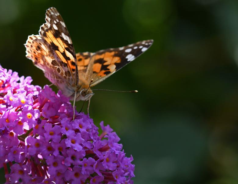 wereldreiziger - De distelvlinder heeft een complexe levenscyclus. De eerste generatie kruipt in december in Midden-Afrika uit de pop. Deze generatie