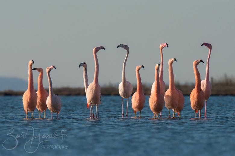 flamingo's in Nederland - Met een 600mm. en een beetje croppen kon ik deze uitsnede maken vanaf de oever net boven het water. Heel bijzonder om flamin