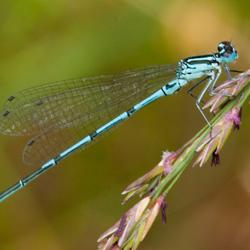 Blauwe Waterjuffer 2