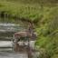 Hert in het water