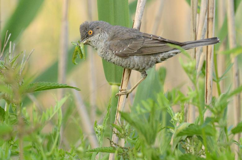 sperwergrasmus prooi - De Sperwergrasmus is in Polen een van de mooiste soorten en lastigste om te fotograferen. Doordat ik mijn eerste fototrip al in