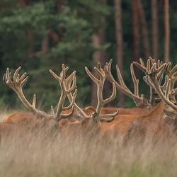 Velvet stags.