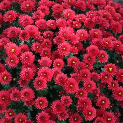 Red Chrysanthemum in my garden