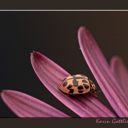 Roze Lieveheerstbeestje