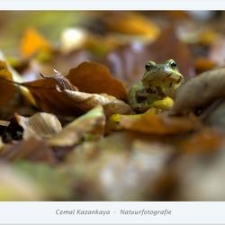 Kikker tussen de herfst bladeren