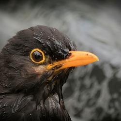 Blackbird ...