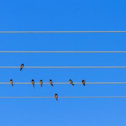 Swallow symphony