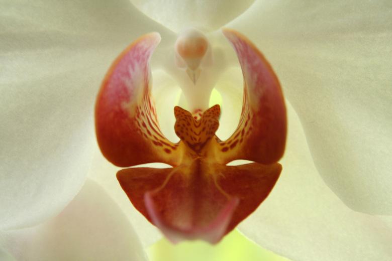 Orchidee - Orchidee met tegenlicht