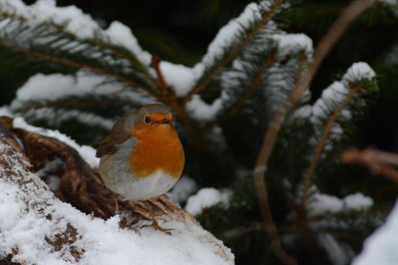 Roodborstje in de sneeuw - vanochtend in de sneeuw wat mooie plaatjes kunnen maken.