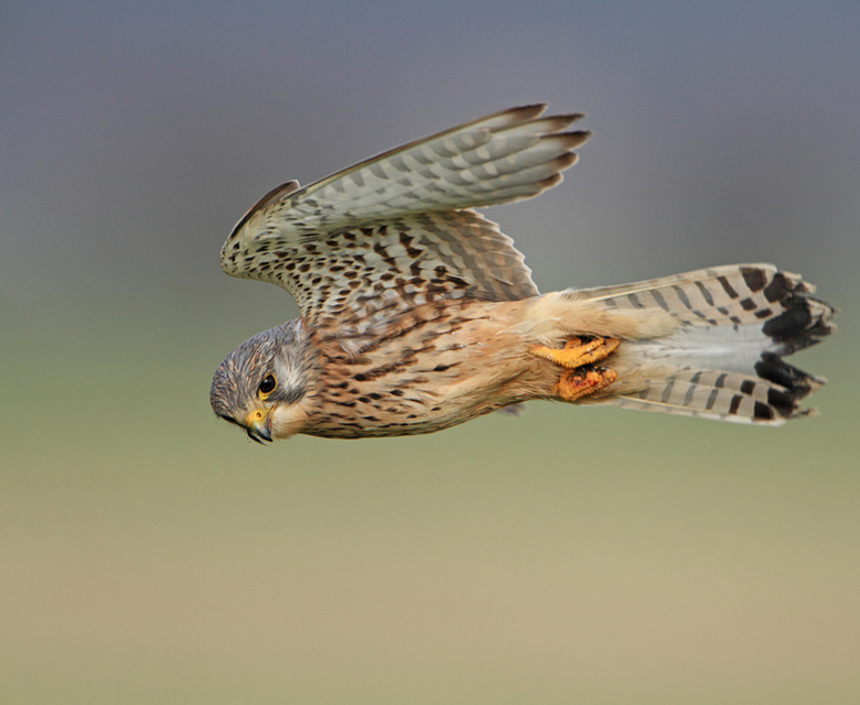 Torenvalk - Nog een upload van een Torenvalk, warbij te zien is dat de vogel zijn onderlichaam iets gekanteld heeft. Foto is vanaf de dijk genomen, wa