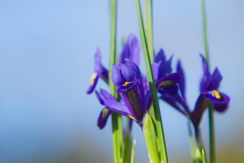 Iris - Heerlijke voorjaarsbloem de statige Iris