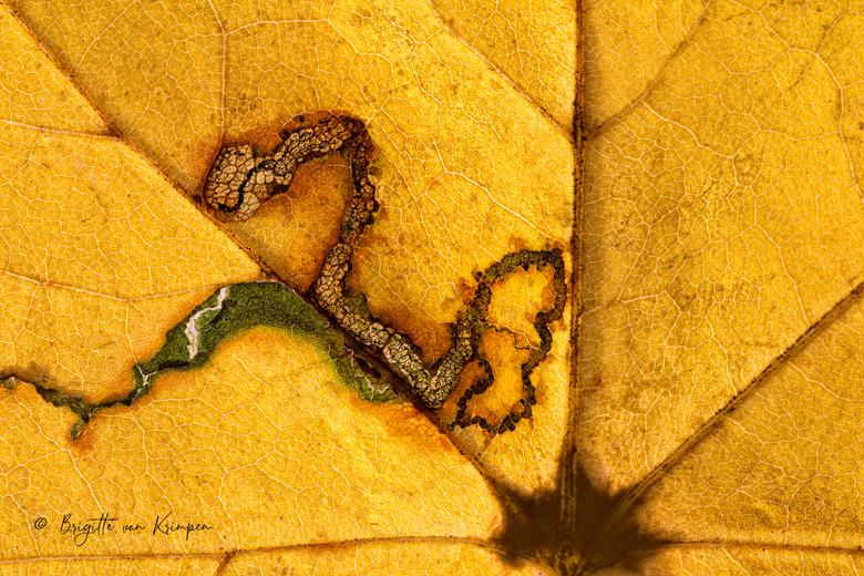 the beginning of the end - Art of Nature<br /> <br /> Detail van een vreetgang van een insect op een Herfst blad.