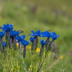 Blauwe gentiaan