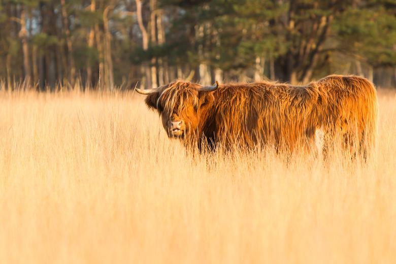 Schotse hooglander in het doldersummerveld -