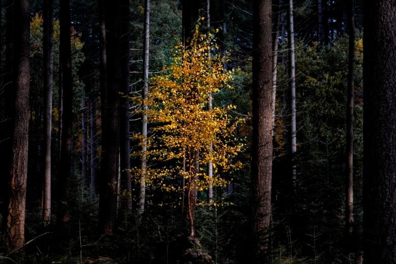The bright one - Een eenzaam berkenboompje staat te stralen, tussen de donkere naaldbomen van het Speulderbos!!