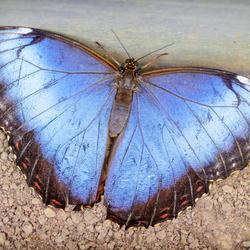 Blue Morpho open wings