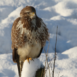Buizerd in de sneeuw