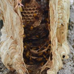 hoornaars nest in een vogelhuisje
