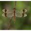 Velp 13-9-2020 Bandheidelibel (Sympetrum pedemontanum) m