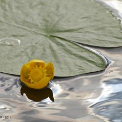 Gele plomp