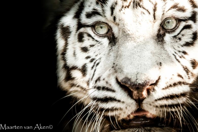 Tiger fine art -