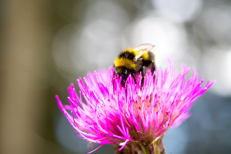 Little bumblebee  - Een vrij grote hommel die onder de pollen zit van deze kleine paarse bloem.